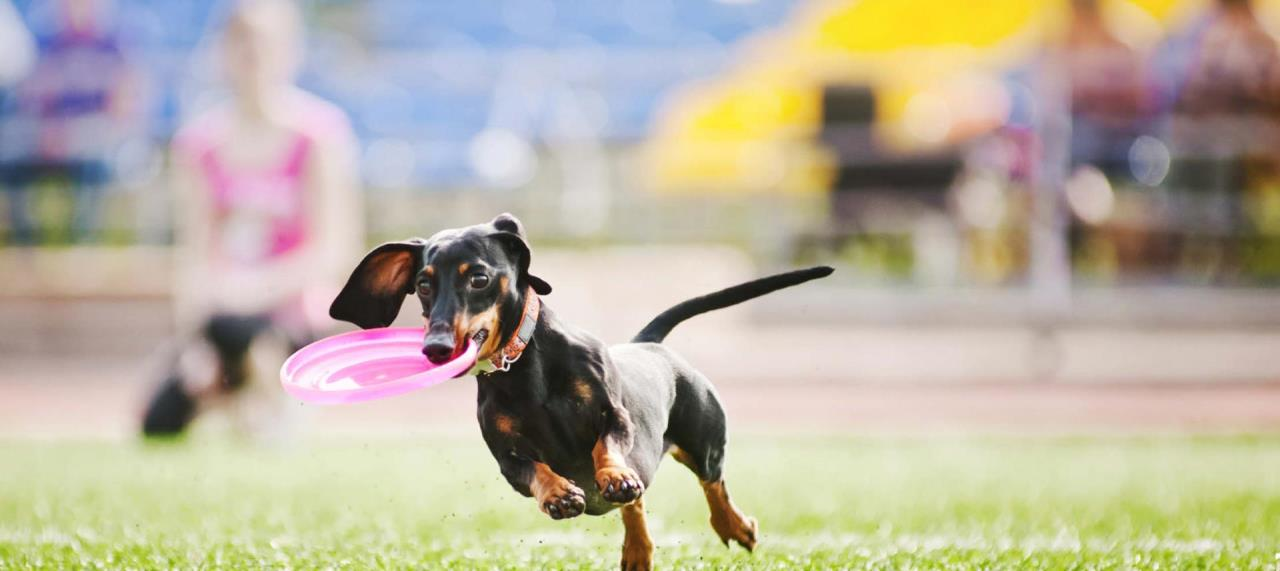 black and tan dachshund catching pink frisbee